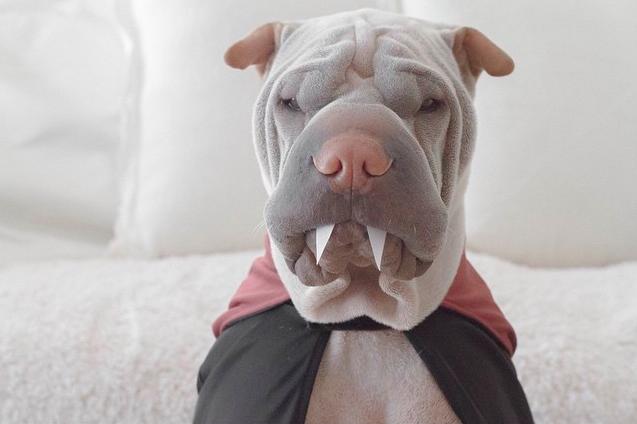 El más tierno cachorro Shar Pei de Instagram