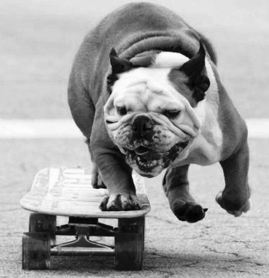 Skate dog
